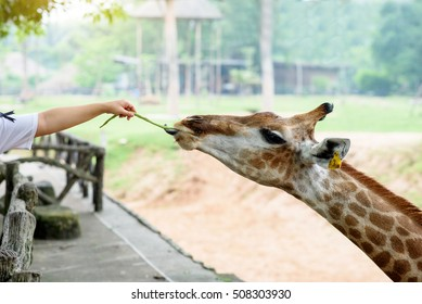 Giraffe feeding that tourists filed in open zoo.