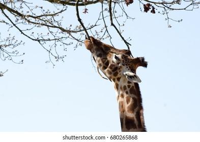 A Giraffe feeds from a tree
