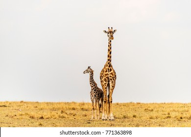Giraffe female and newborn standing close, touching. Mother looking straight ahead. Calf looking away across the African savannah landscape. Mother, baby. Copy space. Maasai Mara, Kenya.