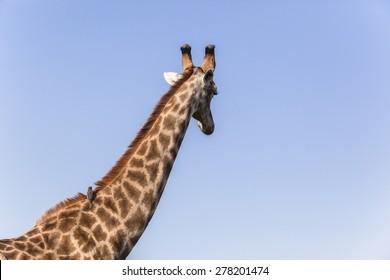 Giraffe with flea ticks ox-pecker bird on neck hair of wildlife animal in blue sky detail
