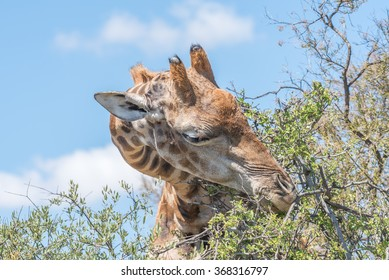 A Giraffe in the Franklin Nature Reserve on Naval Hill in Bloemfontein, South Africa