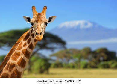 Giraffe in front of Kilimanjaro mountain - Amboseli national park Kenya