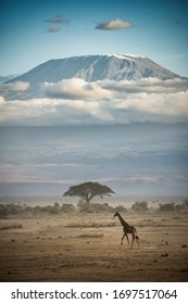 A Giraffe in front of Mount Kilimanjaro during a cloudy day