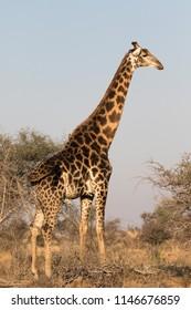 Giraffe full body portrait