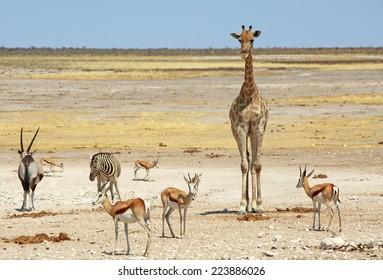Giraffe, Gemsbok Oryx, Zebra & Springbok in Etosha National Park