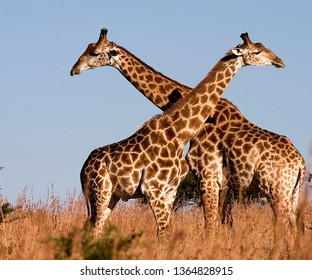 Giraffe (Giraffe) is a genus of African homogeneous uneven mammals, the longest living terrestrial animal and the largest ruminant creature.