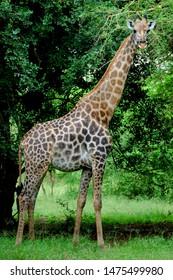 Giraffe (Giraffa cameleopardis) during the wet season in Nyala Park, Chikwawa, Malawi.