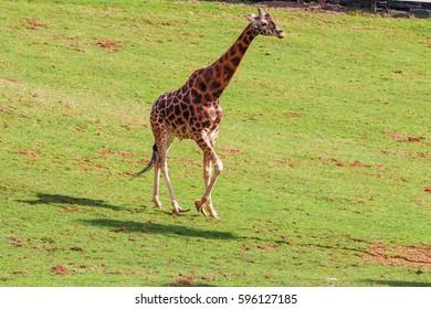 Giraffe (Giraffa camelopardalis