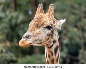 A Giraffe (Giraffa camelopardalis) during the day