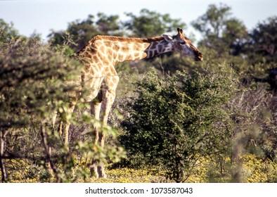 giraffe (giraffa camelopardalis) etosha national park, namibia, africa