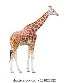 The giraffe (Giraffa camelopardalis) isolated on a white background.