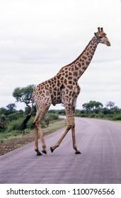 Giraffe (Giraffa camelopardalis), Kruger National Park, mpumalanga, south africa