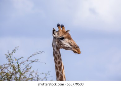 Giraffe (Giraffa camelopardalis) in Kruger National Park, South Africa