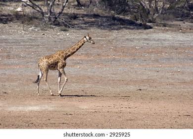 Giraffe (Giraffa camelopardalis) in large open plains area