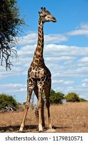 A Giraffe (Giraffa camelopardalis) in the Savuti region of northern Botswana, Africa.