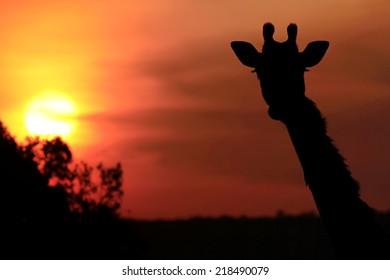 Giraffe (Giraffa camelopardalis) silhouette during sunset on the Maasai Mara National Reserve safari in southwestern Kenya.