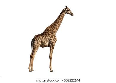 Giraffe, Giraffa camelopardalis, single mammal, Namibia, August 2016