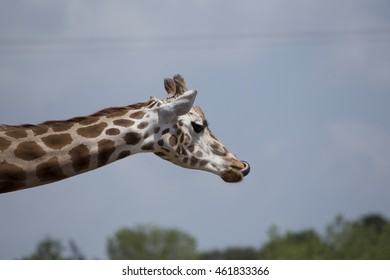 Giraffe (Giraffa camelopardalis) spotted outdoors in Africa