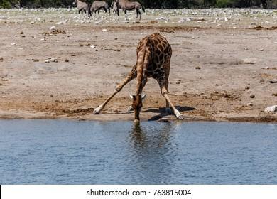 Giraffe (Giraffa), drinking Etosha National Park, Namibia