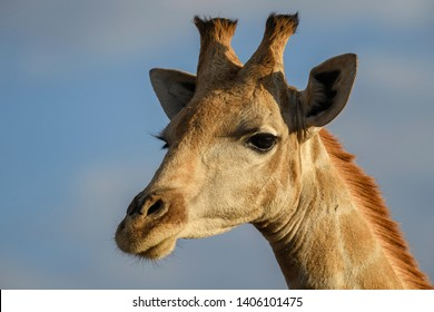 Giraffe - Giraffa giraffa, safari in Etosha National Park, Namibia, Africa. Cute member of African big five.