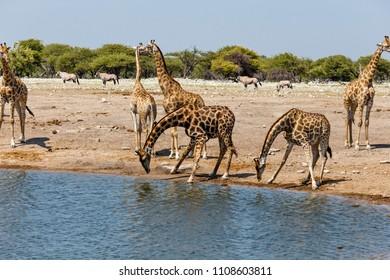 Giraffe (Giraffa) am Wasserloch, at the water hole, Etosha National Park, Namibia