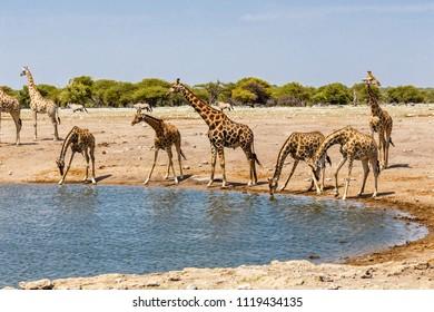 Giraffe (Giraffa) at the water hole, Etosha National Park, Namibia