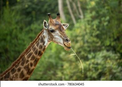 giraffe graze