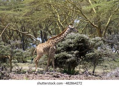 Giraffe grazing on acacia trees in Lake Naivasha National Park, Kenya
