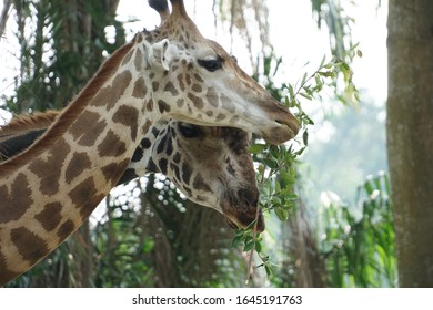 giraffe grazing on leaves closeup