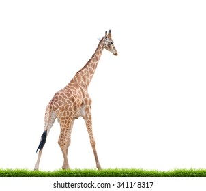 giraffe with green grass isolated on white background