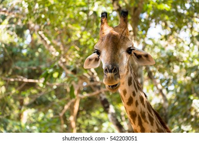 Giraffe is happily smiling tall in the warm sunshine...is he missing his mate?