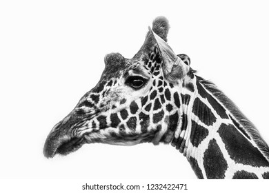 Giraffe head close up black and white