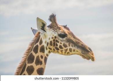 Giraffe head closeup