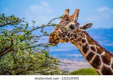 Giraffe head eating