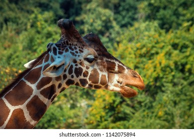 Giraffe Head with Forest on Background