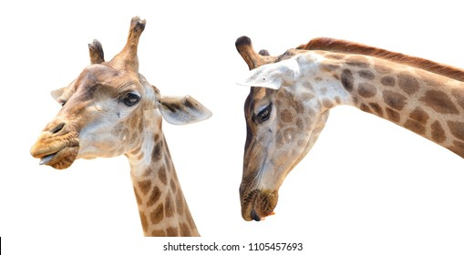 giraffe head isolated on white background with clipping path