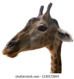 Giraffe head isolated on white background.