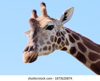 Giraffe head looking at camera