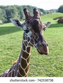 Giraffe head and neck photo