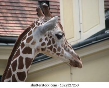 giraffe head in profile close up