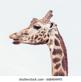 Giraffe Head Profile Closeup