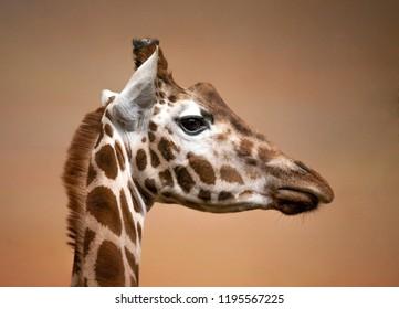 giraffe head profile side view closeup