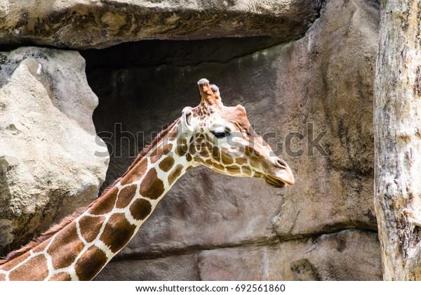 Giraffe - Head Shot
