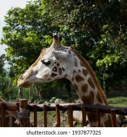 Giraffe head shots, close-up while feeding.