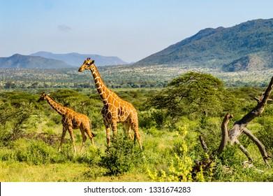 A giraffe and her cub in the savannah of Samburu
