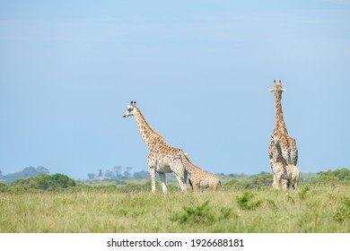 Giraffe herd, family standing together on safari on a hot summers day