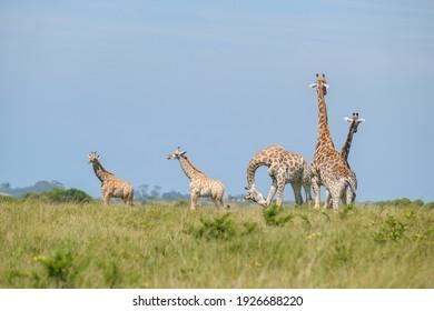Un troupeau de girafe, une famille se tenant ensemble en safari lors d'une chaude journée d'été