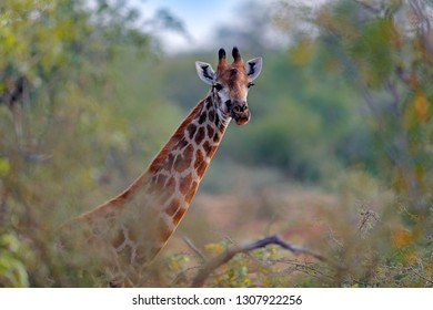 Giraffe hidden in orange and green autumn vegetation. Giraffes head in the forest, Kruger National Park, wildlife. Green season in Africa.  Africa.