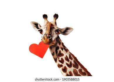 Giraffe holding red heart card in the mouse love valentine concept isolated on white