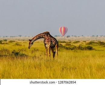 Royalty Free Masai Mara Images Stock Photos Vectors Shutterstock